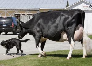 Breeding Bulls
